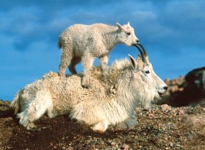 baby-mountain-goat-kid-with-parent