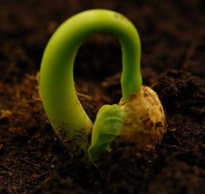 wheat grain germinate
